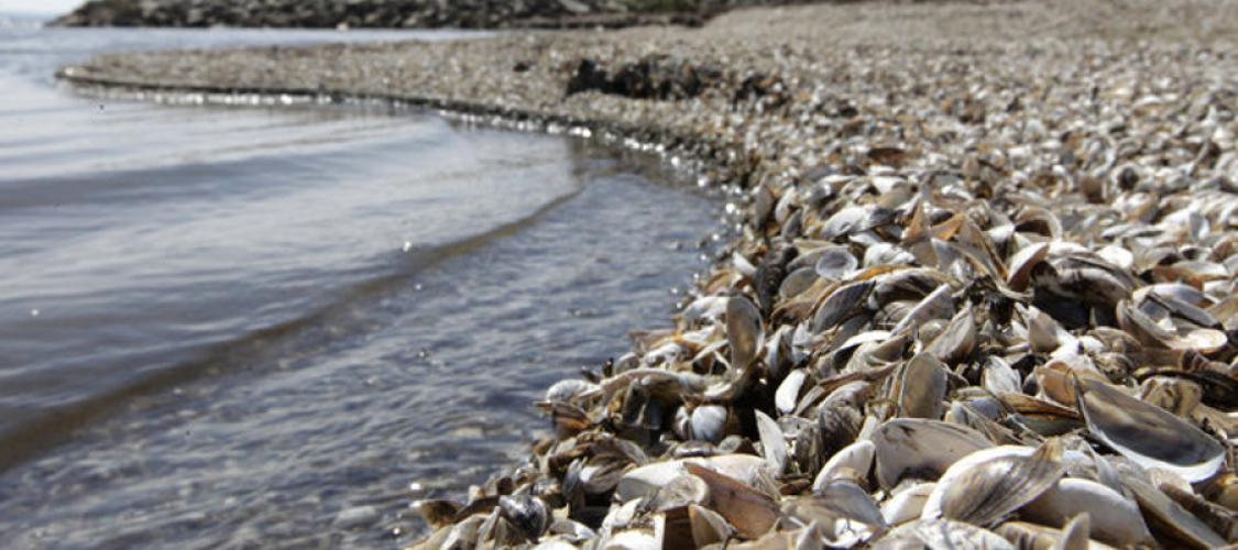 Sharp Zebra Mussel Shells Close a Beach in Michigan
